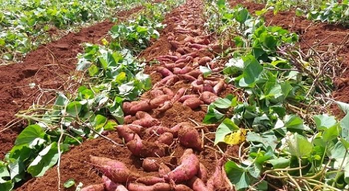 Tiêu chuẩn xuất khẩu khoai lang sang Trung Quốc hiện nay